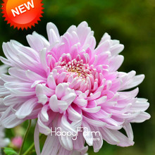 Loss Promotion!100 pcs/lot Beautiful Light Pink Chrysanthemum Seeds Morifolium Seeds DIY Gardening Flower Potted Plant,#L20C6A(China)