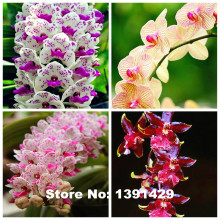 Hot Sale!!! 100pcs 22 colors Rare Cymbidium orchid, African Cymbidiums seeds, bonsai flower seeds, plant for home garden,(China)