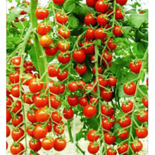 free shipping Vegetables fruits and seeds tomato skgs red cherry tomatoes seeds tomato balcony bonsai - 100 seeds(China)