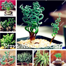 200Pcs Spring Grass Seeds Succulents plant Grass seeds DIY bonsai Potted Garden Home Exotic Plant Spiral Grass Bonsai Seeds(China)