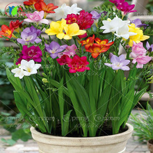 20pcs/bag Freesias seeds, colorful fragrant flower plant gorgeous seeds, colorful fragrant flower plant seeds home garden