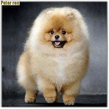 Peter ren Diamond Painting dog DIY Diamond Embroidery Pomeranian 5D Round Mosaic full Pictures by numbers Rhinestones Gray puppy(China)