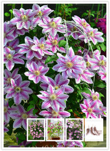 True Pink Clematis Bulbs,Clematis Flower,(Not Clematis Seeds),Outdoor Plant,Natural Growth,Bonsai Pot For Home Garden 2 Bulbs