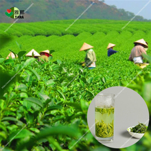 Buy green tea tree seeds chinese tea seeds bonsai plant garden diy home plant 5pcs/bag for $1.59 in AliExpress store