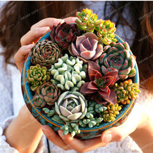 100PCS Mix Succulent seeds lotus Lithops Pseudotruncatella Bonsai Rare Succulent Seeds home & garden Flower pots planters