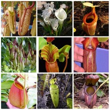 100 seeds/pack mixed Far Nepenthes Seeds Balcony Potted Bonsai Plants Seeds Bonsai Carnivorous