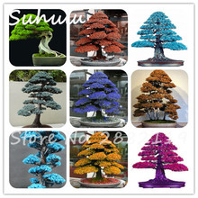 50 pcs Organic Japanese Red Cedar Cryptomeria japonica seeds Bonsai Tree Evergreen Bonsai Seeds adiation absorption Fresh air(China)