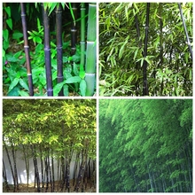 Big Sale!50PCS Rare Black Bamboo Seeds Beautiful Bonsai Seeds for DIY Home Garden Household Items(China)