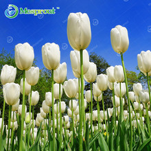 10pcs/bag Bonsai Tulip Seeds Rare Petals Tulip Flower Seeds Home Garden Potted Plants Seeds