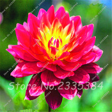 6 RED LOTUS Nymphaea Asian Water Lily Pad Flower Pond Seeds Aquatic plants Seeds AA