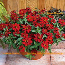 100% True Red Zinnia Flower Seed, 50 Seeds/Pack, Annual Dwarf Plants Youth-and-old-age Bonsai Seed Easy To Grow-Land Miracle