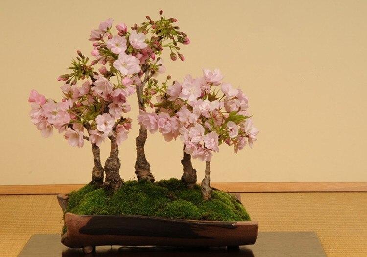 Условия для выращивания сакуры 671