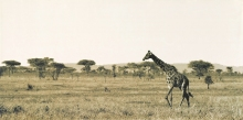 Beautiful decor art Canvas prints African giraffe painting reproduction from photos fine gift for children free shipping