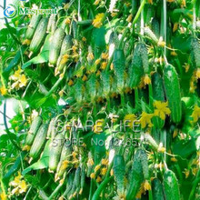 Green Vegetables Seeds Dutch Cucumber Cuke Seeds - 20 seeds Mini Fruit Cucumbert(China)