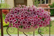 flowers Garden Flower Seeds50+seeds/pack LAURA BUSH GLOWING MAGENTA PETUNIA FLOWER SEEDS / ANNUAL