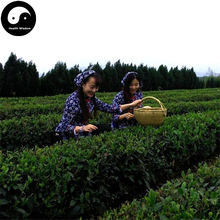 Buy Green Tea Tree Seeds 60pcs Plant Dong Ting Biluochun For Pi Luo Chun Cha(China)