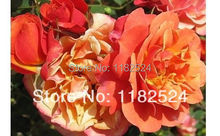 100 SEEDS - Rare DENVER DREAMS PATIO / PEACH YELLOW PINK ROSE SEEDS - Bonsai Flower Plant Seeds(China)