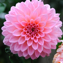 100 Pieces/pack Pink Dahlia Seeds Beautiful Gardens Dahlia flower Seed Bonsai Plant Seeds(China)