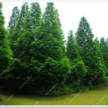 Hot Sale Items 35pcs/bag Italian Cypress Trees Seeds Evergreen Bonsai Tree Seeds,High Quality Easy Grow Indoor or Outdoor Plant(China)