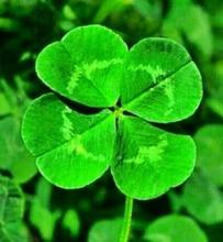 Lucky 100pcs Four Leaf Clover Grass Seeds Decoration Grow Your Own Luck Interest Countryside DIY flower seeds Home Garden