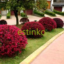 Loropetalum Chinense Tree Seeds 50pcs/lot Beautiful Ornament Flower Bonsai Redrlowered Loropetalum Flower Seeds Home Garden(China)