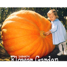 30Pieces/pack Vegetable seeds, Atlantic Giant Pumpkin Seeds Garden Seeds,Free shipping,#KOIOS5