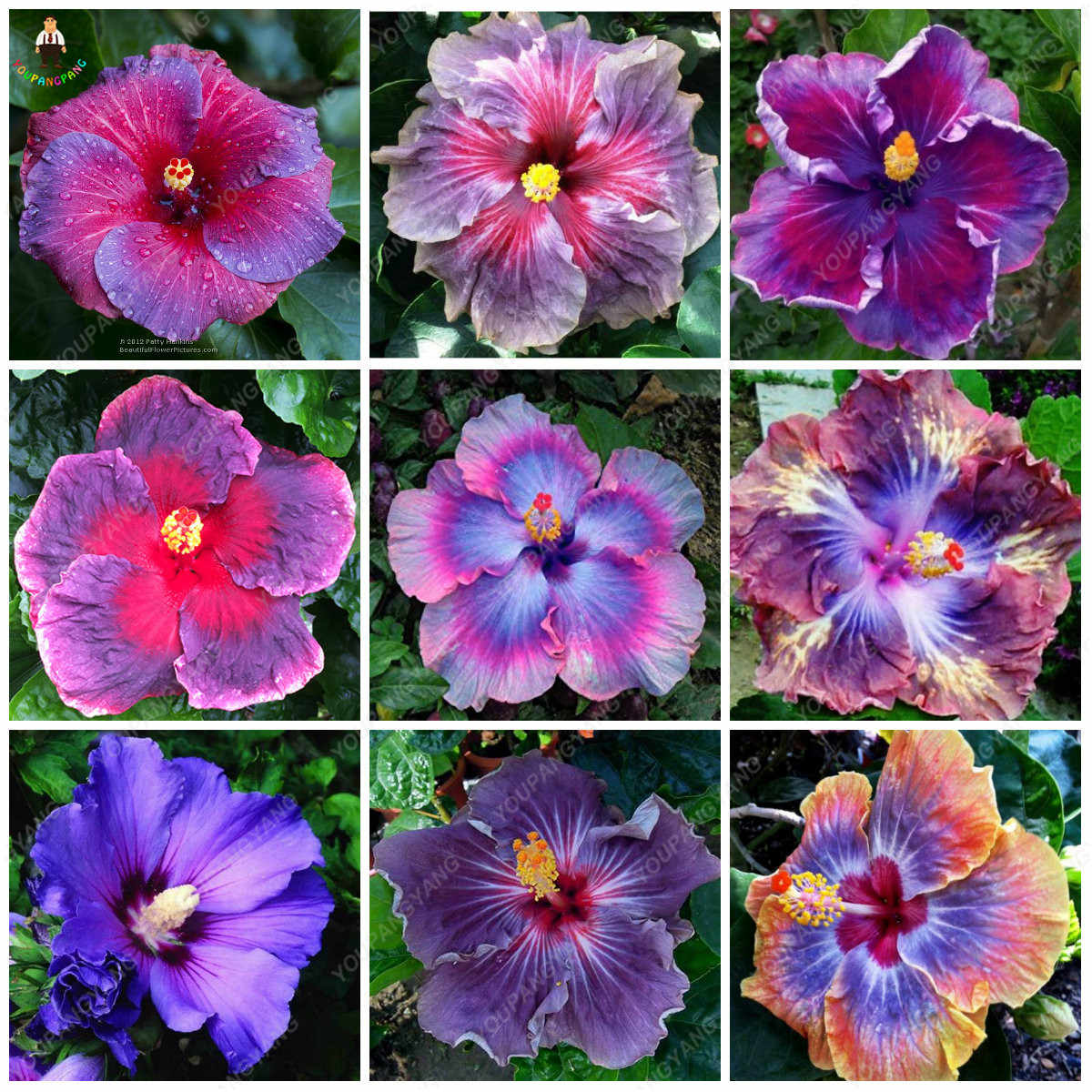 Detail Feedback Questions about 200pcs rare Hibiscus plants ...