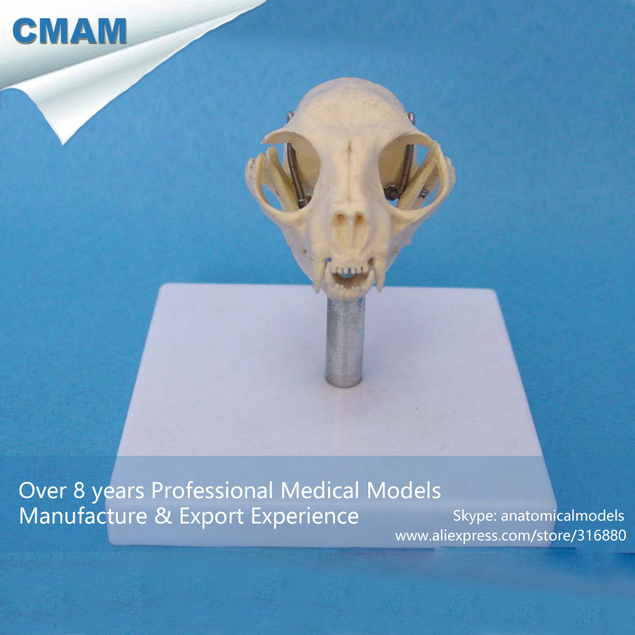CMAM-A26 Cat Skull Anatomical Model w/ Plastic Stand- Medical Veterinary Anatomy, Animal Skeleton Model<br>