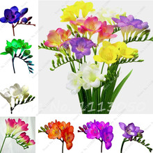 50 Pcs Freesia Flower Seed,Indoor Pot Flowers Orchids,Freesia Rhizome Flower Seed,Floral Quiet Home Garden Plants