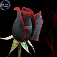 BELLFARM Rare Amazingly Beautiful Black Rose Flower with Red Edge Seedling Seeds,  approx 50 Seeds / Pack, #A00225