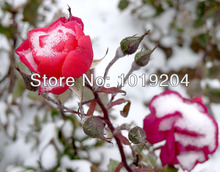 Free shipping, ice plant a rose seed in the winter, snow is more beautiful, 200 grains of a packet of seeds
