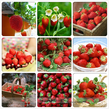 Heirloom 9 Varieties of Red Organic Strawberry Seeds, Professional Pack, 100 Seeds / Pack, Tasty Delicious Fruits Indoor