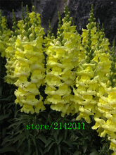 100 pcs/bag Snapdragon seeds, (Anthirrhinum majus) ,bonsai snapdragon flower seeds,Natural growth for home garden planting(China)