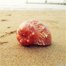 4-6 CM Natural Crafts Household Wall Conch Shell Fish Tank Aquarium Landscaping Table Ornaments Sea Snail Wedding Decoration