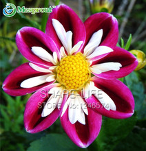 Rare Red and White Point Dahlia Seeds Beautiful Perennial Flowers Seeds Dahlia for DIY Home Garden 50PCS / PACK(China)