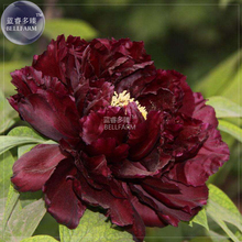 BELLFARM Blackish Coffee Peony Tree Flower Seeds, Professional Pack, 5 Seeds / Pack, strong fragrant perennial big blooms