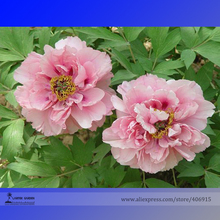 Heirloom 'Fen Pan Tuo Jin' Pink Peony Tree Flower Organic Seeds, Professional Pack, Light Fragrant Garden Flower E3193