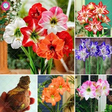 Buy Super Big bulb True amaryllis bulbs,hippeastrum flowers bulbs Rare bonsai plants Barbados Lily potted home garden plant -1 bulb for $2.99 in AliExpress store