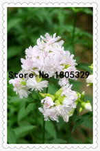 30 Graceful Saponaria Officinalis Flower Seeds Make your own all-natural laundry detergent Ornamental Beautiful Garden