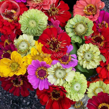 Mixed Colorful Zinna Elegans California Giant Flowers, 50 Seeds, Heat Tolerant Flower USA Drought TS250T