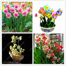 100pcs/bag Narcissus (daffodil) seeds,not daffodil bulbs,bonsai flower seeds Absorption Radiation plant for home garden(China)