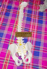 85 cm human spine model (with pelvic intervertebral disc) / teaching model apparatus