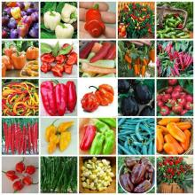 200 Pepper seeds Fast Growing DIY Home Garden Vegetable Plant most popular pepper Good Flavor Funny Garden(China)