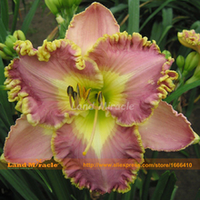Reblooming Daylily Flower Lily Bonsai Seeds, 50 Seeds, Long-lasting Lilies Flowers All Summer-Land Miracle