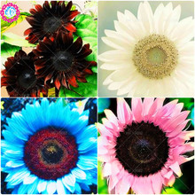 40pcs dwarf sunflower seeds,white sunflower seeds for planting Mixed color rare indoor flower seeds pot plant DIY home garden(China)