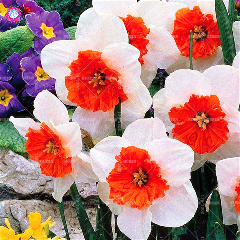 Best-Selling-Beautiful-Narcissus-Flower-Balcony-Plants-Daffodil-Seeds-Absorption-Radiation-Narcissus-Tazetta-Seeds-100-PCS.jpg_640x640_