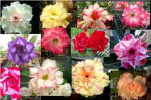 Wholesale 100pcs mix color Desert Rose Seeds Real Adenium Obesum Seeds Big promotion