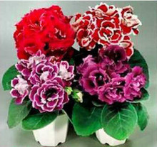 100 Seeds/pack Flower Seeds Imported Gloxinia Brocade ( Mixing ) Gloxinia Seeds Garden Decoration Bonsai Flower Seeds(China)