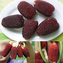 10 Maize Full Grains Plump Red Fruit Corn Seeds B011(China)