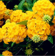 New Arrival 50 Pcs Rare Yellow Hydrangea Seed,Hydrangea Flower Seeds for Planting In Pot or Ground Easy to Grow Bonsai or Tree